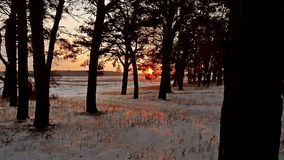 Winter evening forest and sun landscape. sun christmas tree beautiful winter forest snow a glare sunlight. Winter evening forest and sun landscape. sun christmas stock video footage