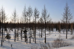 Winter evening and frosty lanskape from North. Naked trees, pines and white snow Royalty Free Stock Photography
