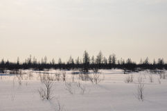 Winter evening and frosty lanskape from North. Naked trees, pines and white snow Royalty Free Stock Photos