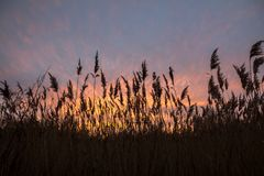 Winter evening sunset through tall grasses, Norfolk, England. Soft pinks, oranges and yellows colour a few wispy clouds as the sun sets over marshy ground in royalty free stock photo