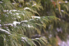 Winter Evergreen Stock Photo
