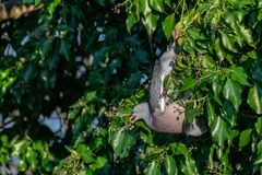 Wood pigeon Columba livia hanging upside down eating winter berries from everygreen tree royalty free stock images
