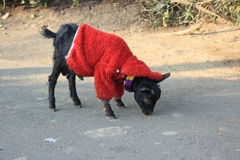 Winter everywhere. The child is sympathetic enough to give his sweater to the goat kid to protect it from cold Stock Photo