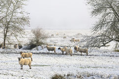 Winter Ewes Royalty Free Stock Photography