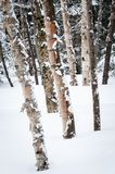 Snowshoeing in a national park trail in Canada. Winter exercising on a snowy day in a snowshoeing trail stock photography