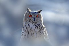 Winter face portrait of owl. Eastern Siberian Eagle Owl, Bubo bubo sibiricus, sitting on hillock with snow in the forest. Birch tr. Winter face portrait of owl stock photos