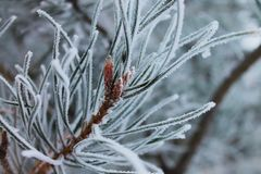 Frozen pine macro shot royalty free stock photography
