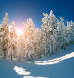 Winter fairytale scene in the mountain forest. Fir trees covered frost and fresh snow in the deep woodland Stock Images