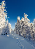 Winter fairytale scene in the mountain forest. Fir trees covered frost and fresh snow in the deep woodland Royalty Free Stock Photos