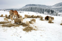Winter on the farm. Stock Images