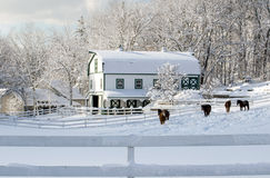 Winter on the farm. Horses walk in pure white snow outside a rustic farm in Indiana USA Stock Images