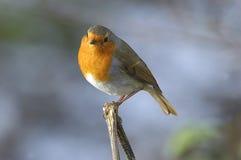 Winter favourite. British Robin Stock Photo