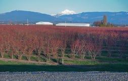 Winter-Feld der Blaubeeren mit Berg Stockfotos