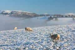 Winter-Feld mit Schafen Lizenzfreie Stockbilder