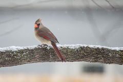 Winter Female Cardinal Stock Image
