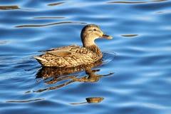 Winter Female Mallard Duck Stock Photography