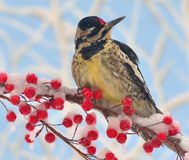 Winter Female Yellow - bellied Sapsucker Stock Photo