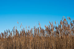 Winter field . Beautiful sunny day. Clear blue sky. Reed Stock Image