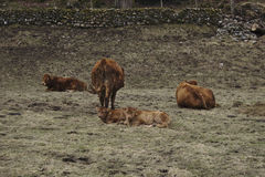 Winter field with cattle. British Limousin cattle with calves in Cumbria Stock Image