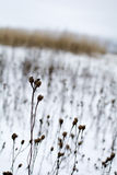 Winter field. Winter february field with dry flowers and grass Royalty Free Stock Photos