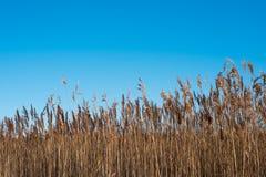 Winter field Schöner sonniger Tag Klarer blauer Himmel schilf Stockbild