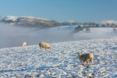 Winter Field with Sheep Royalty Free Stock Images