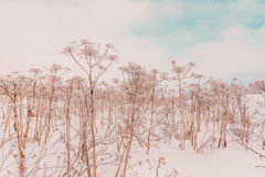 Winter field. Snowy winter field with dried plants Royalty Free Stock Photos