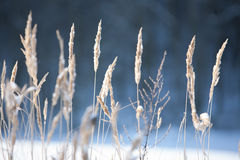 Winter field. Snowy field, frozen grass, winter landscape royalty free stock images