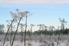 Winter field and Sosnowsky hogweed stems. Covered with snow Stock Photos