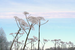 Winter field and Sosnowsky hogweed stems. Covered with snow Stock Photography