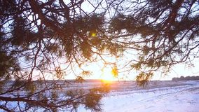 Winter field at sunset, pine branches in sun, snow sparkle in the sun stock video footage
