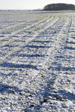 Winter on field. Wheat field under snow in winter time Royalty Free Stock Photos