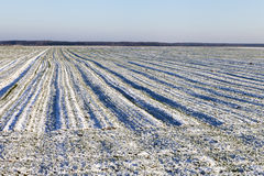 Winter on field. Wheat field under snow in winter time Stock Photos