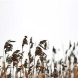 Winter fields of bulrush Stock Images