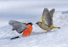 Winter Fight Of Bullfinch And Greenfinch Royalty Free Stock Photos