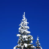 Winter fir. Snowy Christmas fir on background of blue sky Stock Photography