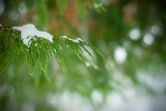 Winter fir. Branch of a tree photographed while winter was snowing Stock Images