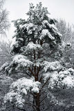 Winter fir Stock Images