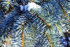 Winter fir branches in snow on sunny day close up royalty free stock image