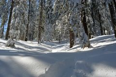 Winter fir forest landscape. Fir tree trunks and branches covered with snow. Ski track through a snowy forest Royalty Free Stock Image