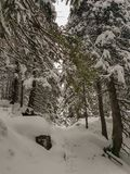 Winter fir forest in snow stock photography
