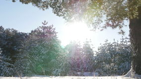 Winter fir forest in the snow in the sun stock footage