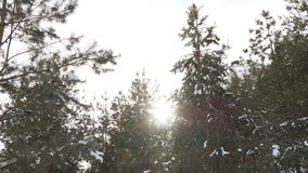 Winter fir forest in the snow in the sun stock video