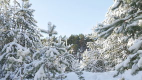 Winter fir forest in the snow in the sun stock video footage