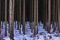 Bleak fir forest winter scene Royalty Free Stock Photography