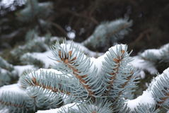 Winter fir sprig. Closeup of snow covered fir sprig Royalty Free Stock Photography