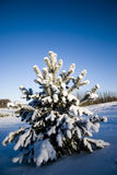 Winter fir-tree Stock Images