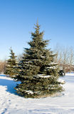 Winter fir tree Stock Photos