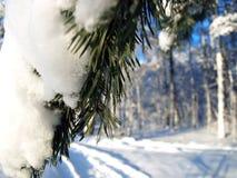 Winter fir tree Royalty Free Stock Image