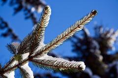 Winter fir-tree branch Stock Image